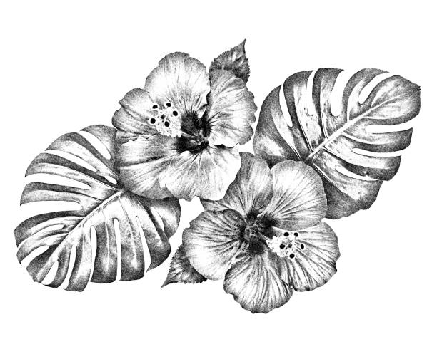 Black and white hibiscus flowers with monstera leaves hand drawing illustration for graphic resources stock photo