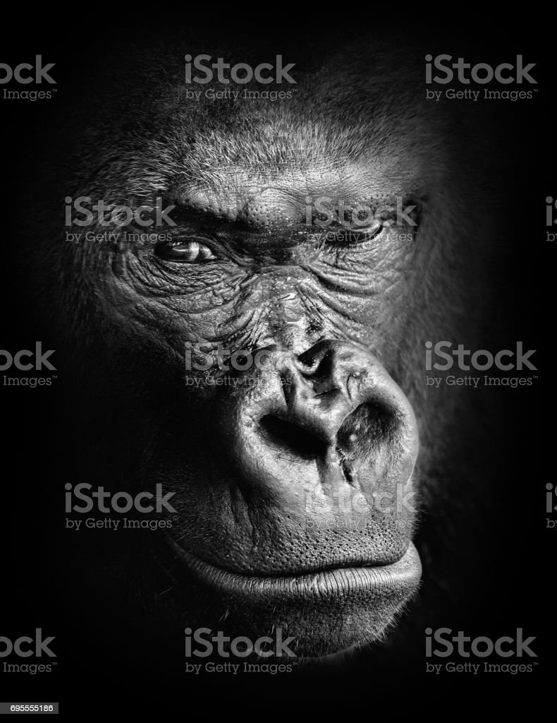 Black and white high contrast animal portrait of a pensive gorilla face isolated in shadows stock photo