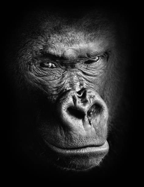 black and white high contrast animal portrait of a pensive gorilla face isolated in shadows - gorilla stock photos and pictures