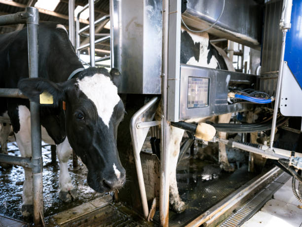 black and white holstein cow waits for other cow milked by milking robot - musica industrial foto e immagini stock
