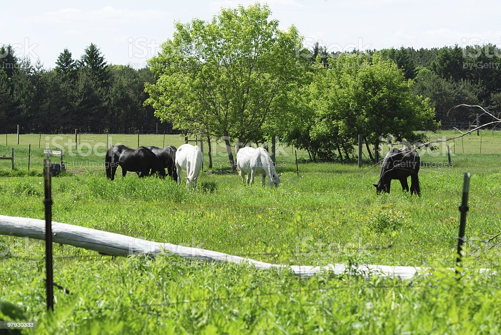 Black and White Horses Grazing Together royalty-free stock photo