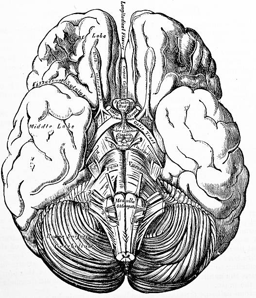 A black and white illustration of a brain http://thebrainstormlab.com/banners/ami_banner.jpgThis is an antique medical illustration of a human brain. lateral ventricle stock pictures, royalty-free photos & images