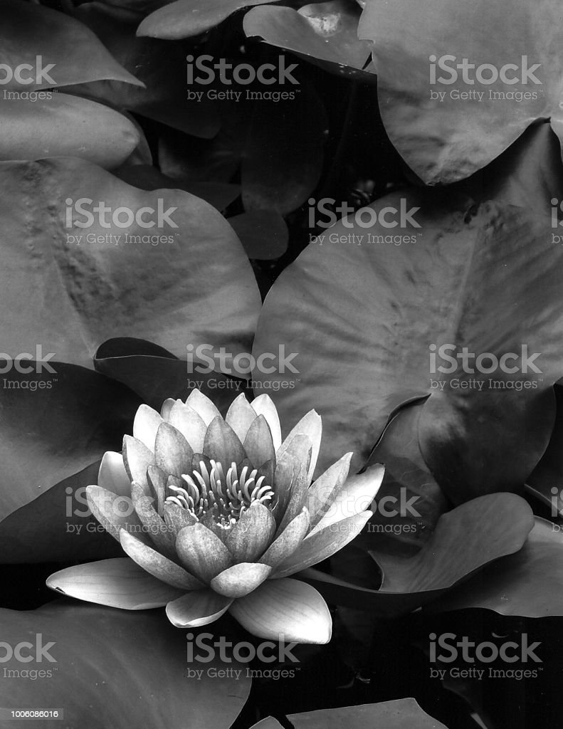 Black And White Image Of A Lotus Flower Surrounded By Its Leaves