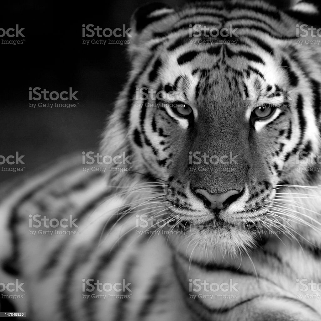 A black and white image of a tiger royalty-free stock photo