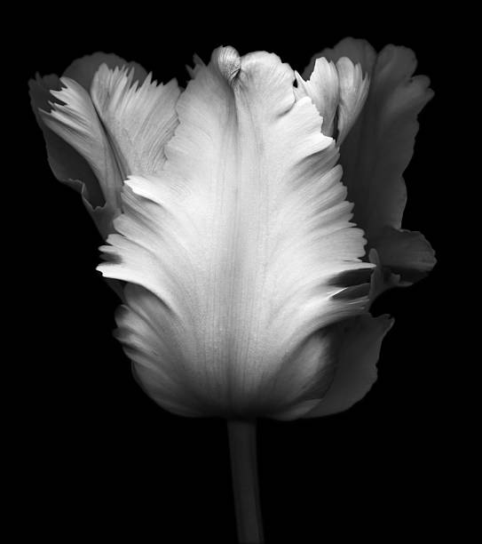 Black and White Image of a Tulip stock photo