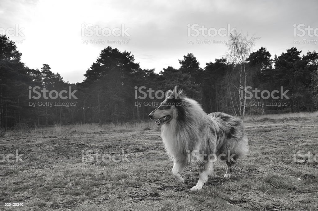 Black and white image of collie dog in field stock photo
