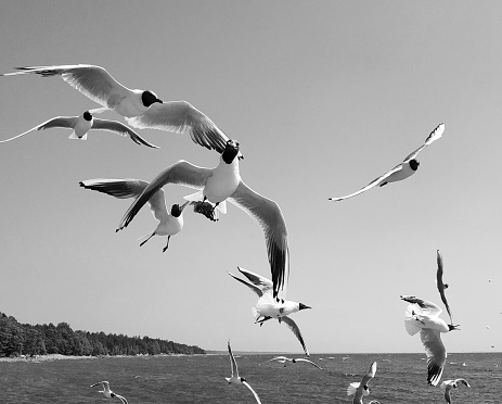 Black and white image of flying gulls in the sky feeding