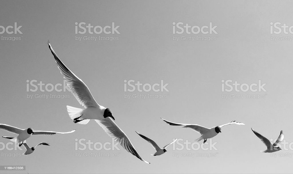 Black and white image of flying gulls in the sky