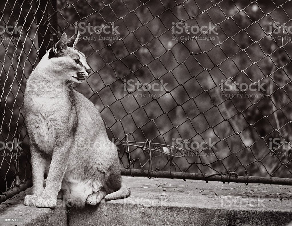 Black and White Image of Lynx in Captivity royalty-free stock photo