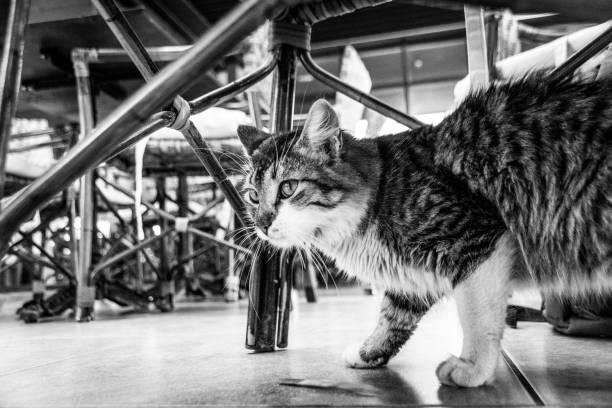 Black and white image of tabby cat under dinner tables picture id1156960490?b=1&k=6&m=1156960490&s=612x612&w=0&h=lezo1srii5a97brd89zsovlhzpurnwhks2bkyjph8hm=