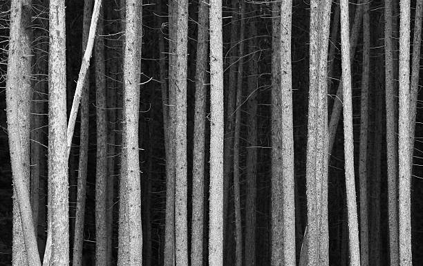 Black and White Image of Tree Trunks in a Forrest stock photo