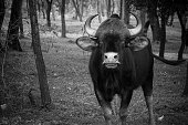 Black and white Indian Bison portrait  staring at the camera
