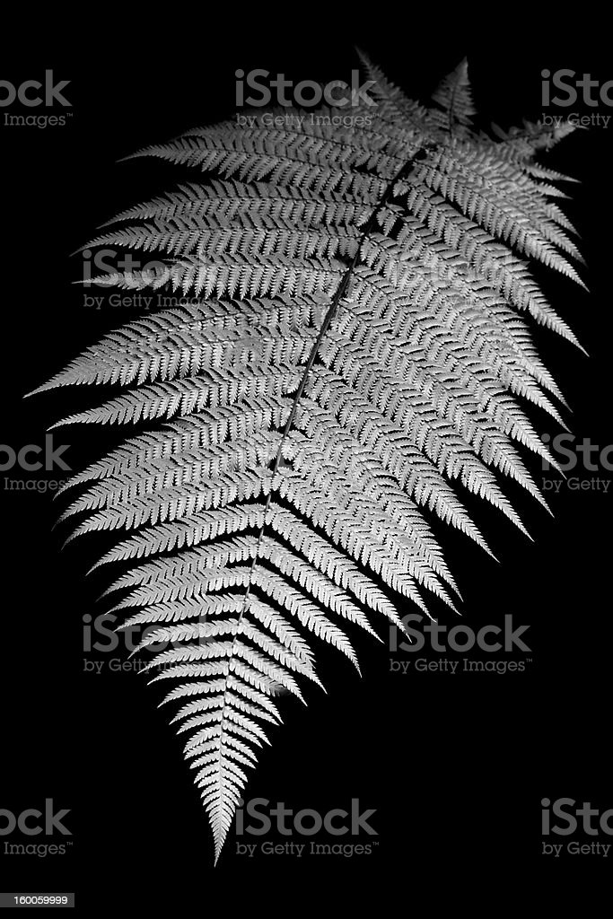 A black and white isolated fern royalty-free stock photo
