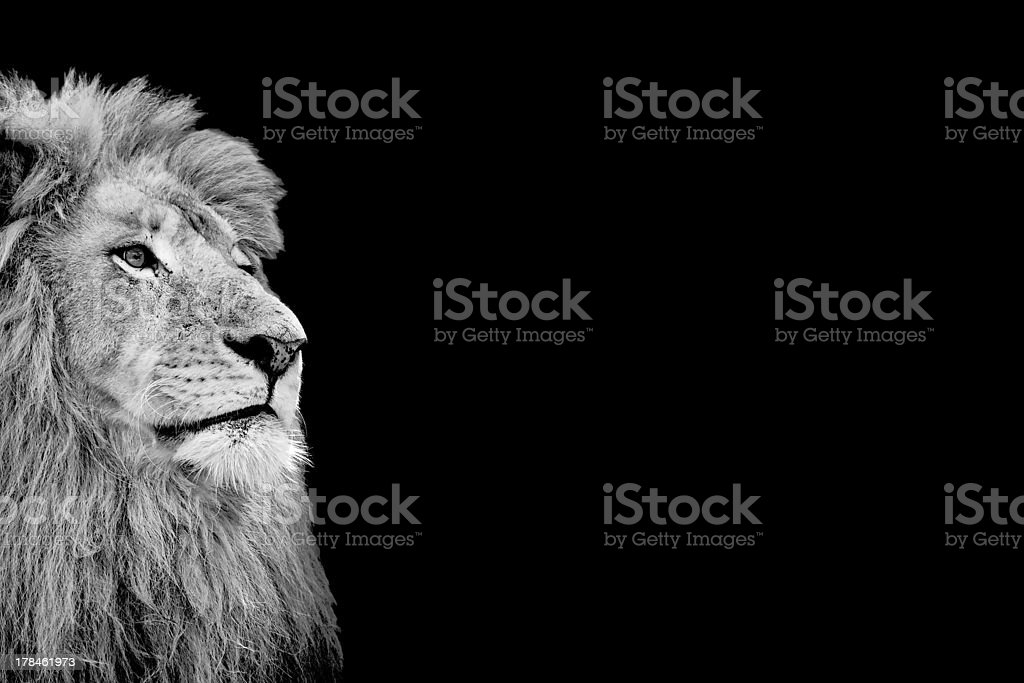 Black and white isolated lion face card stock photo
