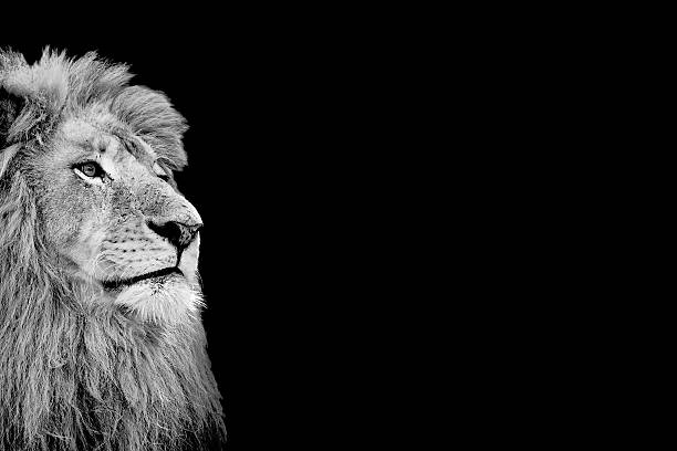 Black and White Isolated Lion Face Card Black and White Isolated Lion Face Card with Copy Space animal mouth stock pictures, royalty-free photos & images