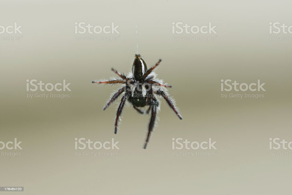 Black and white Jumping Spider suspended from its silk thread royalty-free stock photo