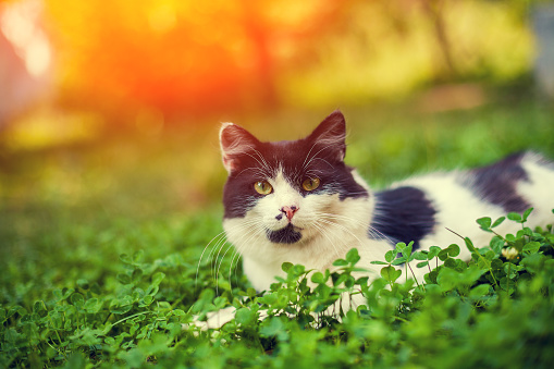 Black And White Kitten Lying In The Clover Stock Photo - Download Image Now