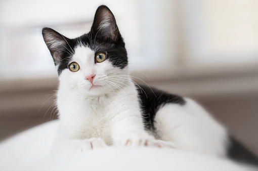 Black and White Kitten Laying on back of a couch