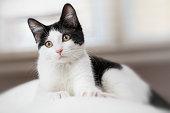 istock Black and White Kitten 1217212552
