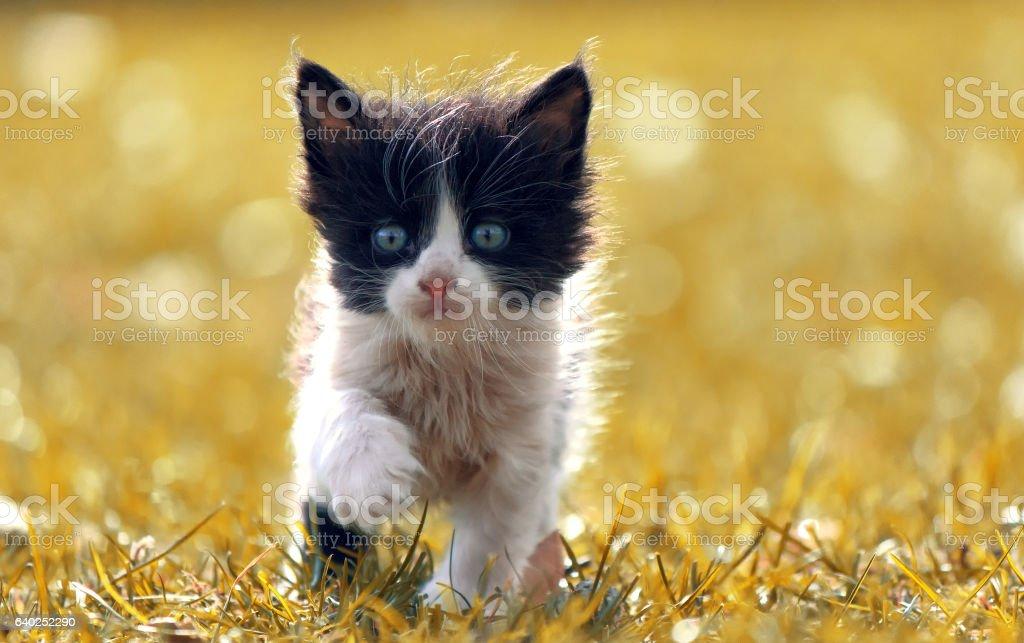 Black and white kitten walks on yellow grass stock photo