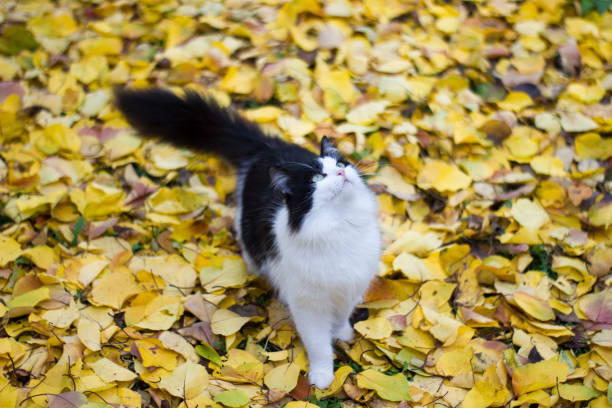 Black and white kitty against background of yellow leaves autumn picture id1188696574?b=1&k=6&m=1188696574&s=612x612&w=0&h=q17ku0kmwjunlmh869efy7ftym1aqti3slhmovbmhpg=