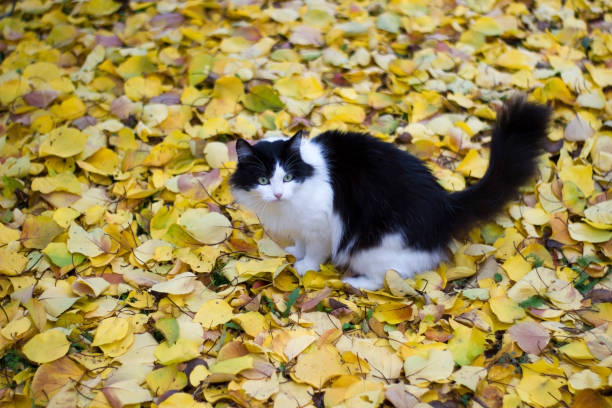 Black and white kitty against background of yellow leaves autumn picture id1193883504?b=1&k=6&m=1193883504&s=612x612&w=0&h=9ktl nvwaydtwocel pmyjqhchp46dyhvfw4co8hoks=