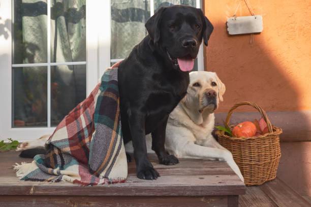 schwarz / weiß labradors sitzen, bedeckt mit einer warmen decke auf der veranda eines gemütlichen landhauses mit körben kürbisse und blätter im herbst. - veranda decke stock-fotos und bilder