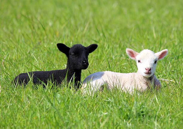 schwarze und weiße lämmer im frühjahr field, das die gleichstellung - weißes lamm stock-fotos und bilder