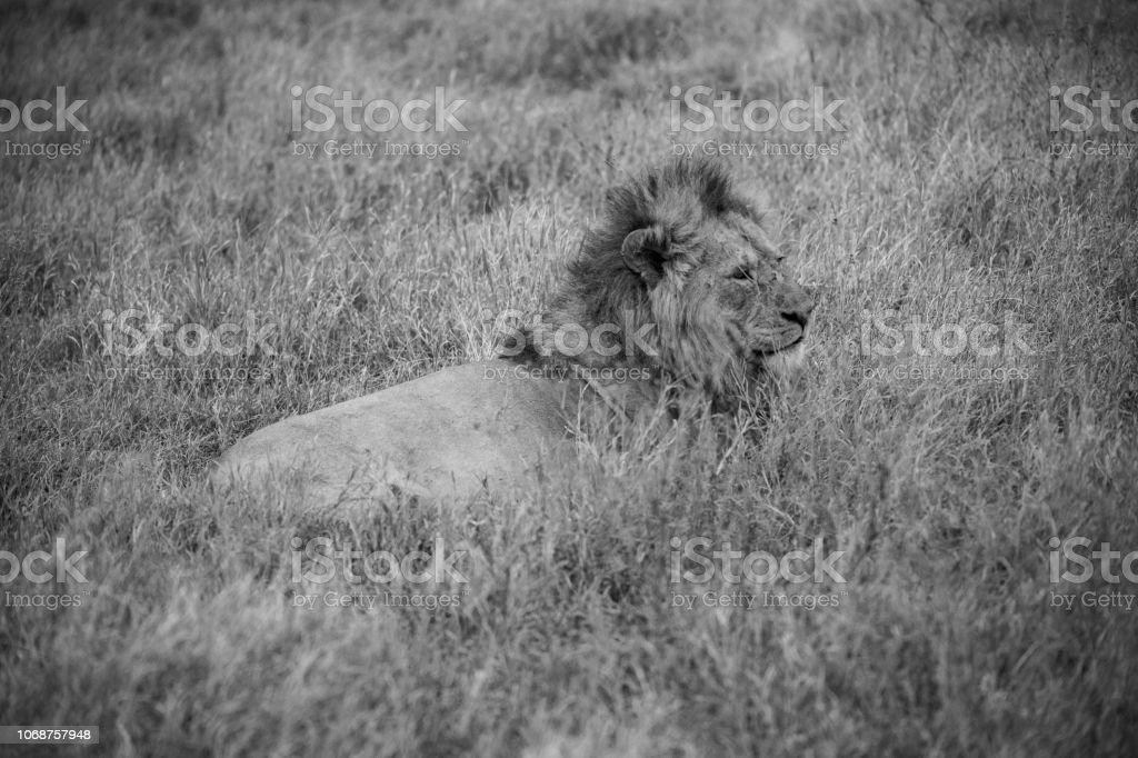 Preto e branco paisagem do majestoso leão - foto de acervo