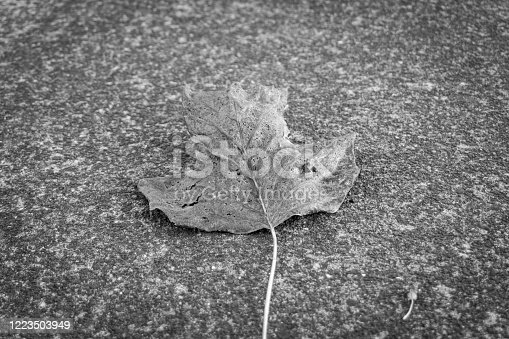637513166 istock photo A black and white leaf 1223503949
