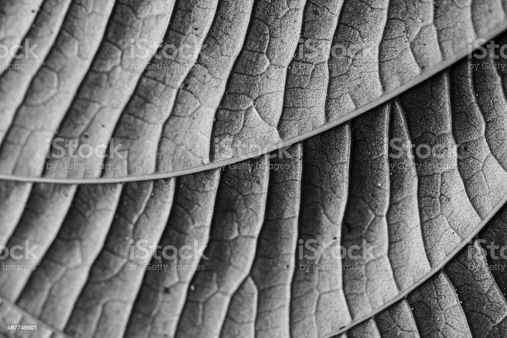 Black and White Leaf stock photo