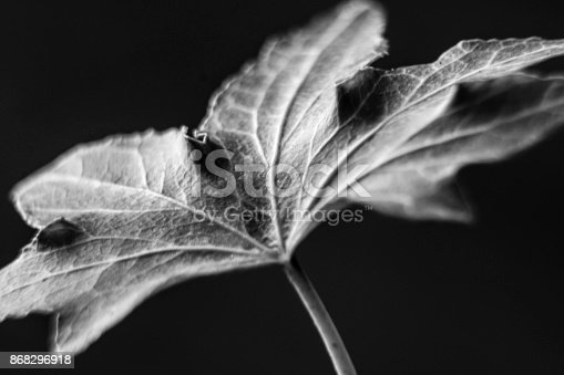 637513166istockphoto Black and White Leaf 868296918