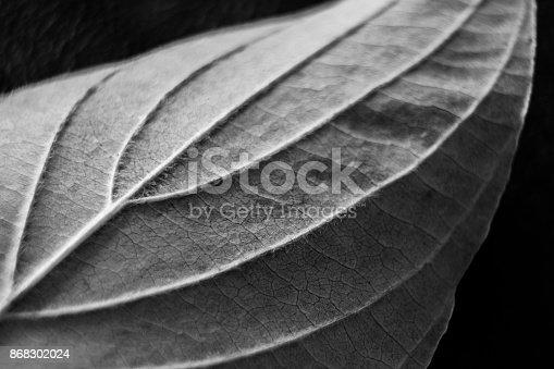 637513166istockphoto Black and White Leaf 868302024