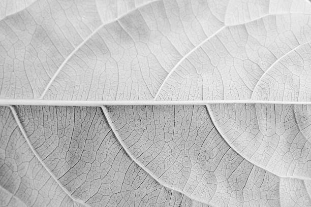 black and white leaf texture. abstract leaf background. - hair grow cyclus stockfoto's en -beelden