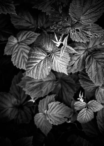 Black and white leaves pattern background, natural background and wallpaper – zdjęcie
