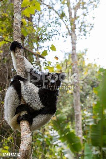 Black and white Lemur Indri (Indri indri), also called the babakoto, hanged on tree. Indri is the largest living lemur. Andasibe - Analamazaotra National Park, Madagascar wildlife
