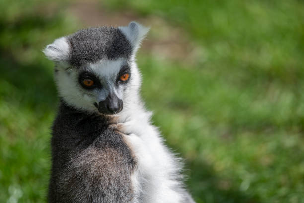 Black and White lemur stock photo
