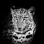 Black and White Leopard Portrait