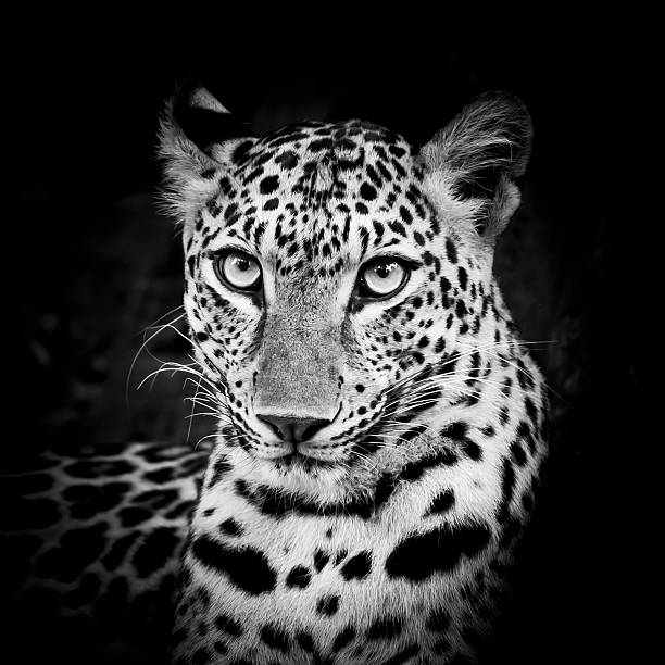 Black and White Leopard Portrait Black and White Leopard Portrait transvaal province stock pictures, royalty-free photos & images