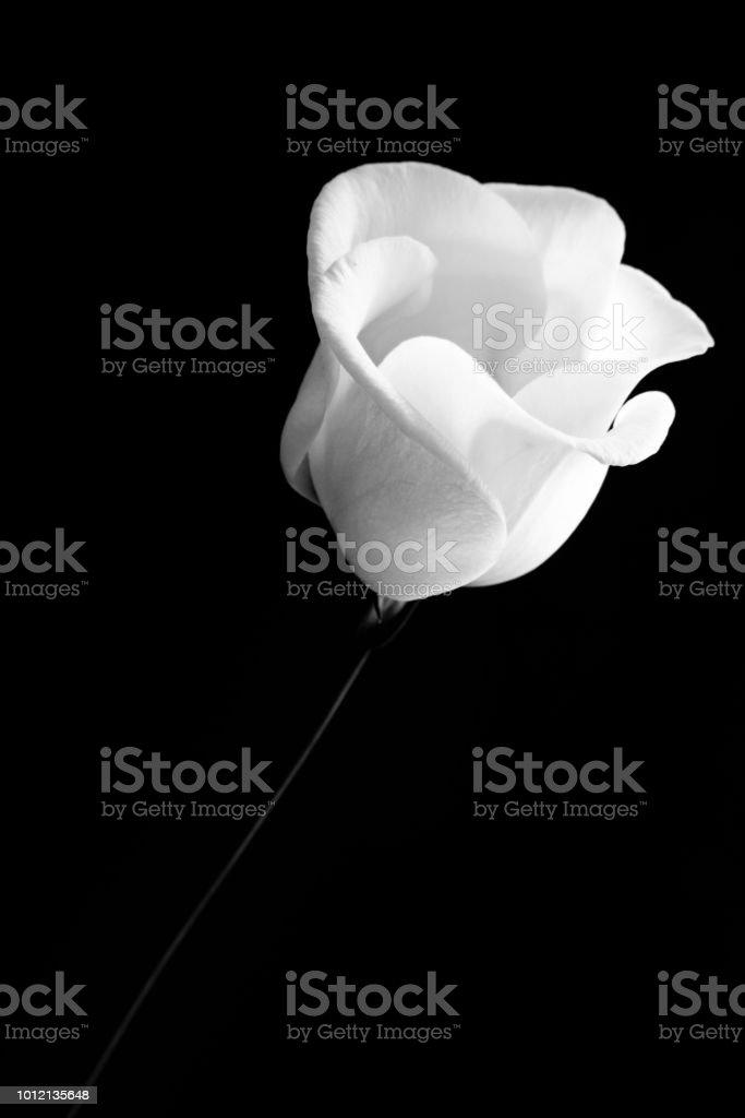 Black and White Lisianthus flower Against Black stock photo