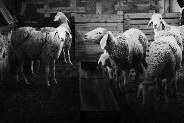 black and white livestock sheep stock photo
