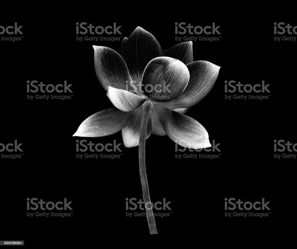 Black And White Lotus Petal Flower Isolated On Black Background