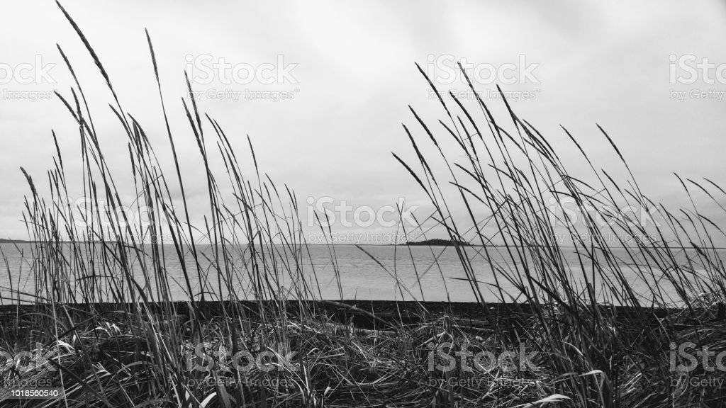 A black and white low angle view through tall grass by the sea stock photo