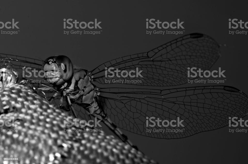 Black and White Macro of Dragonfly with transparent wings - Zbiór zdjęć royalty-free (Bez ludzi)