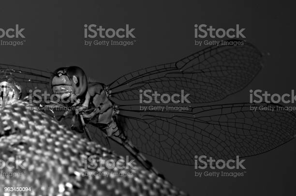 Czarnobiałe Makro Ważki Z Przezroczystymi Skrzydłami - zdjęcia stockowe i więcej obrazów Bez ludzi