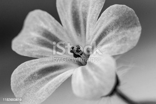 Black and white edited flower, macro shot
