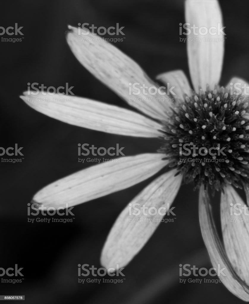 Black And White Macro Shot Of A Purple Flower And Its Center Seeds