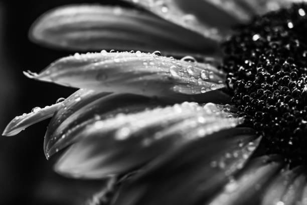 Black and White Macro Sunflower stock photo