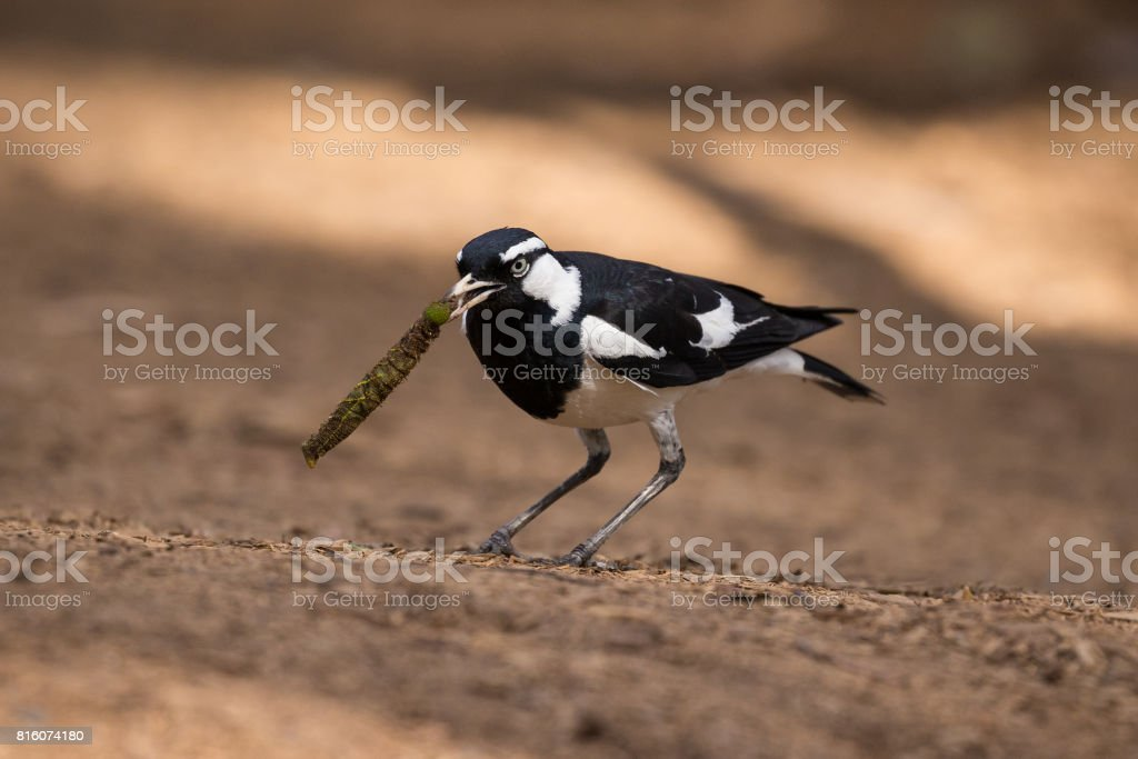 A black and white Magpie-Lark has found a fat juicy caterpillar stock photo
