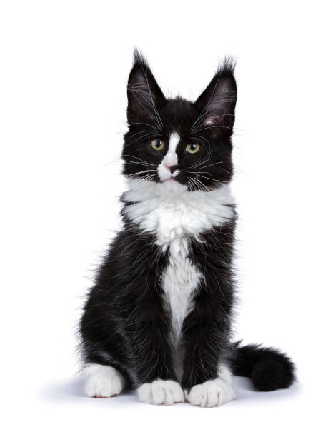 Black and white maine coon cat kitten sitting isolated on white picture id841012640?b=1&k=6&m=841012640&s=612x612&w=0&h=znmszvau7saib6yvomeqswzyspkz71awahj ciek dc=